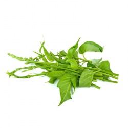 Plante Gymnema Sylvestris BIO