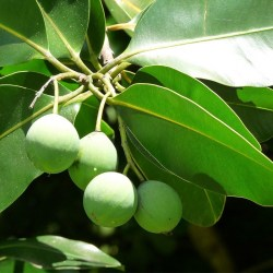 Calophylle - Shop Nature